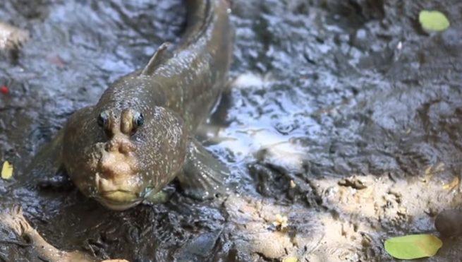 Peixe que consegue viver fora de água